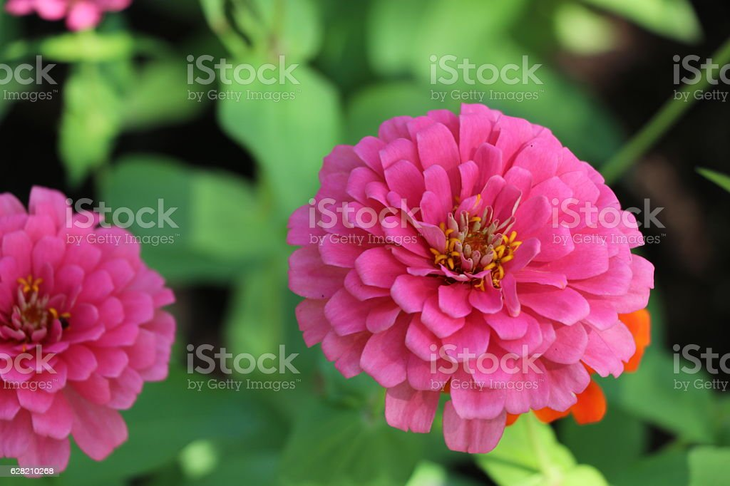 Zinnia elegans colorful flowers in the park stock photo
