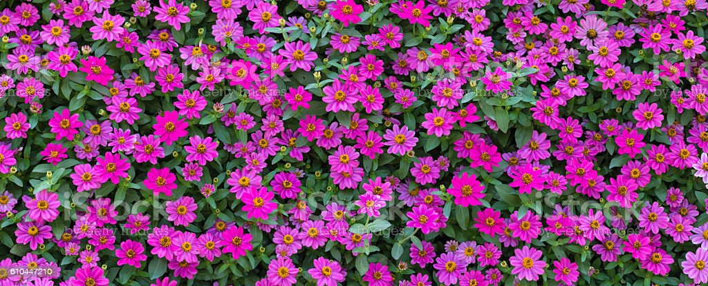 Zinnia elegans Jacq blooming in summer stock photo