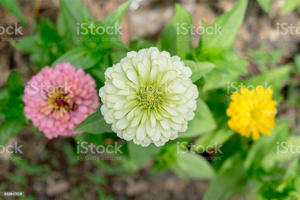 'zinnia elegans' or Classic Zinnia flower in garden stock photo