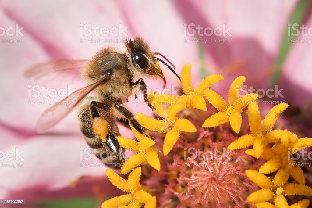 Zinnia Flower with Bee stock photo