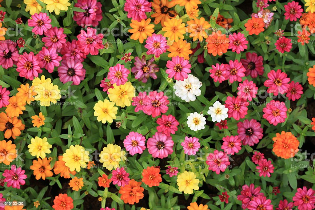 Zinnia flowers , Colorful flowers garden. stock photo