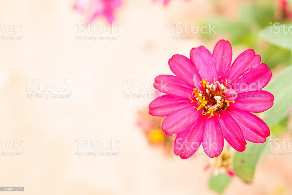 Zinnia flowers. stock photo