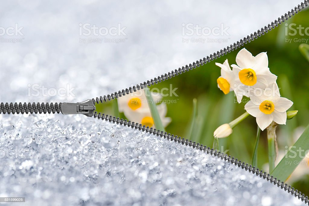 Zipper revealing narcissus under the snow stock photo