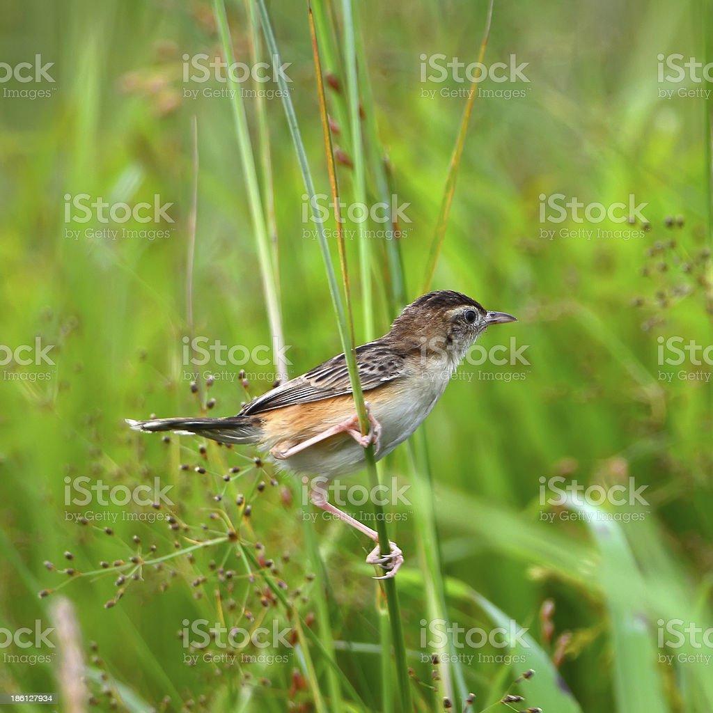 Zitting Cisticola (Cisticola stock photo