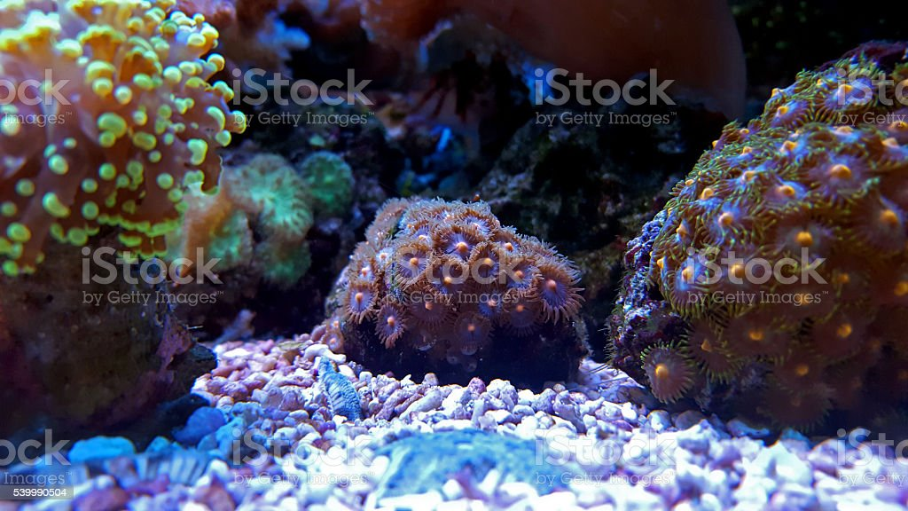 Zoanthids coral stock photo