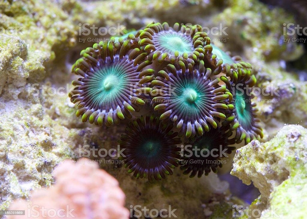 Zoanthids stock photo