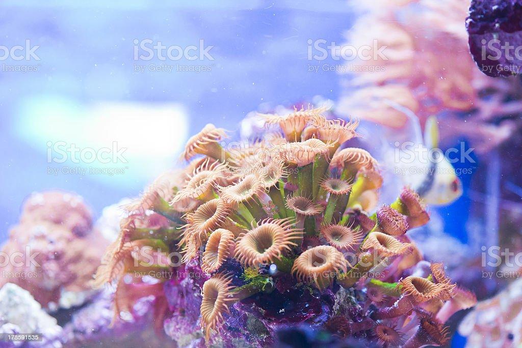 Zoanthus spp stock photo