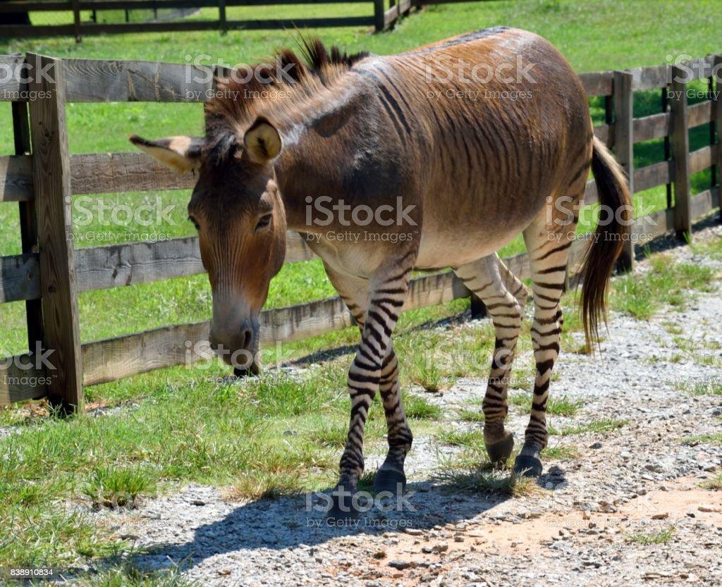 Zonkey at animal reserve stock photo