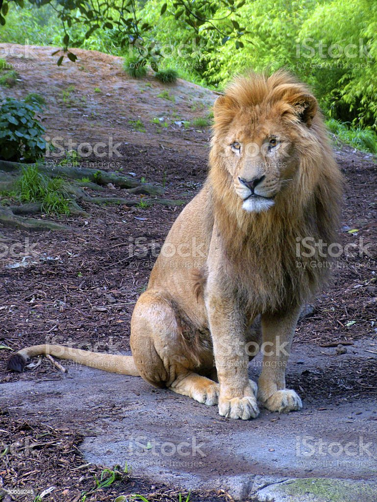 Zoo 2 - Lion royalty-free stock photo