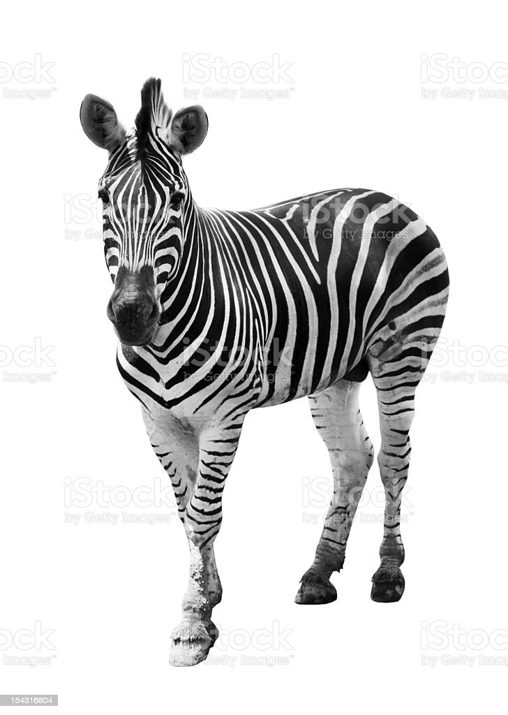 Zoo single  burchell zebra isolated royalty-free stock photo