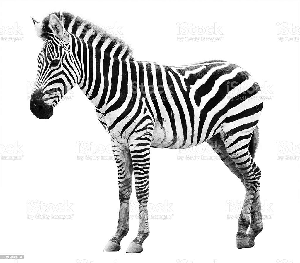 Zoo single  burchell zebra isolated stock photo