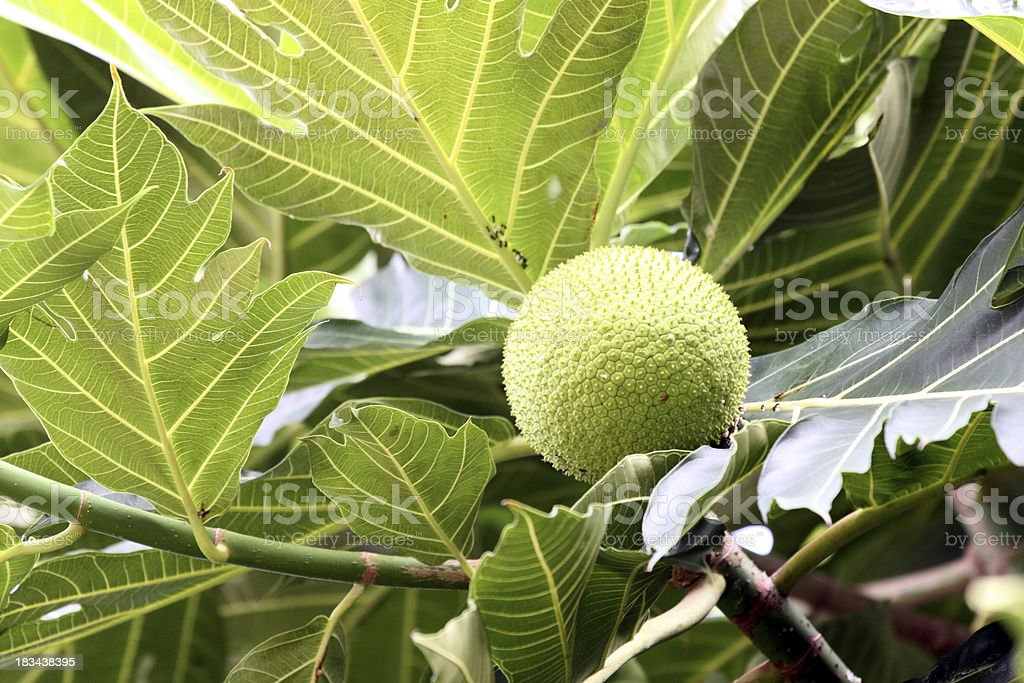 Zoom a breadfruit on the tree. royalty-free stock photo