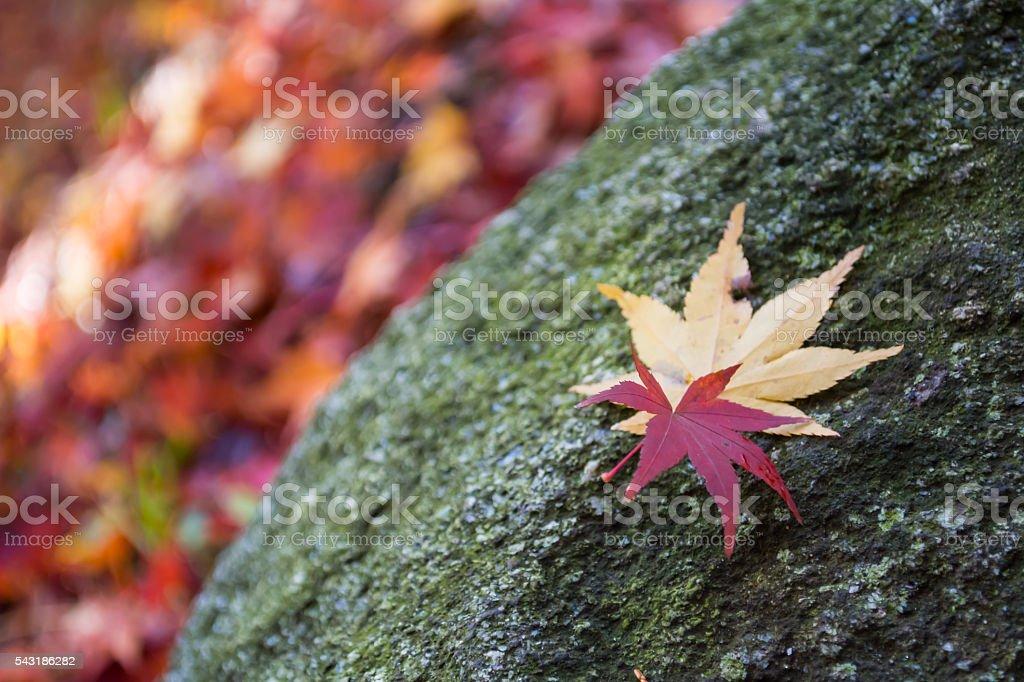 Zoom Maple Leaf stock photo
