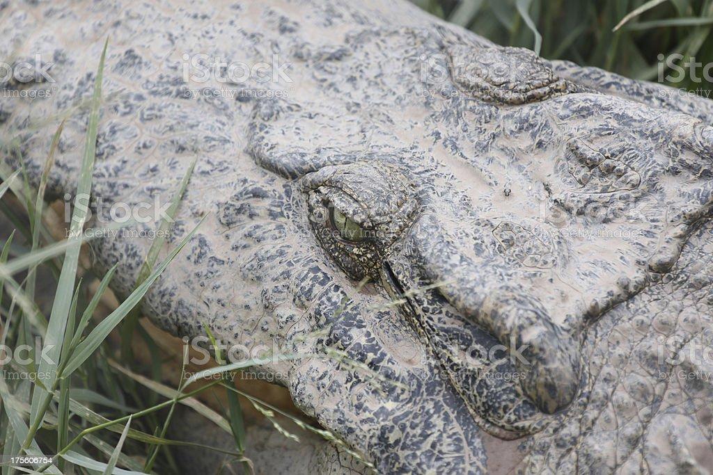 Zoom The Crocodile. stock photo