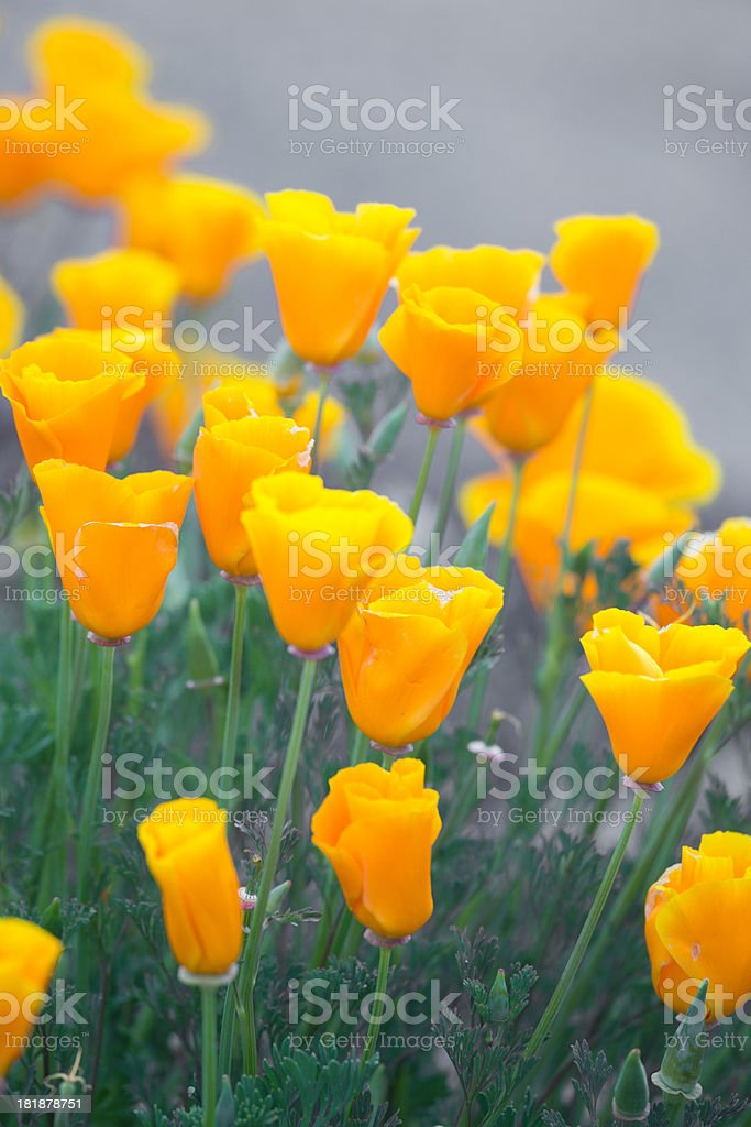 zoomed in yellow poppy flowers stock photo