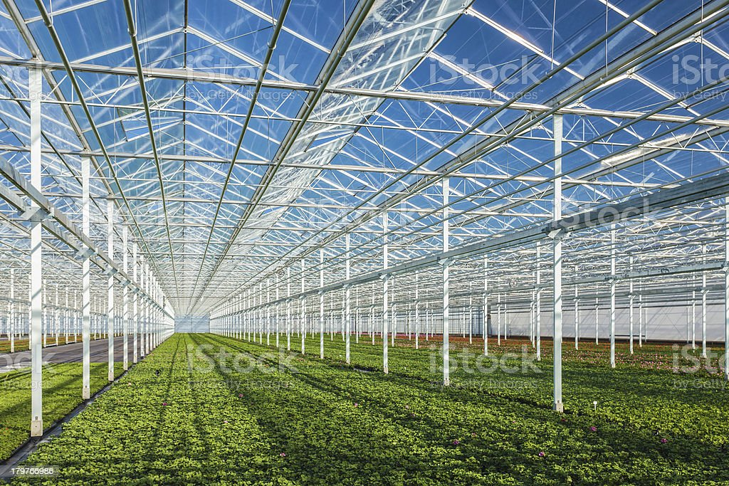 A zoomed out view of geranium plants inside a greenhouse stock photo
