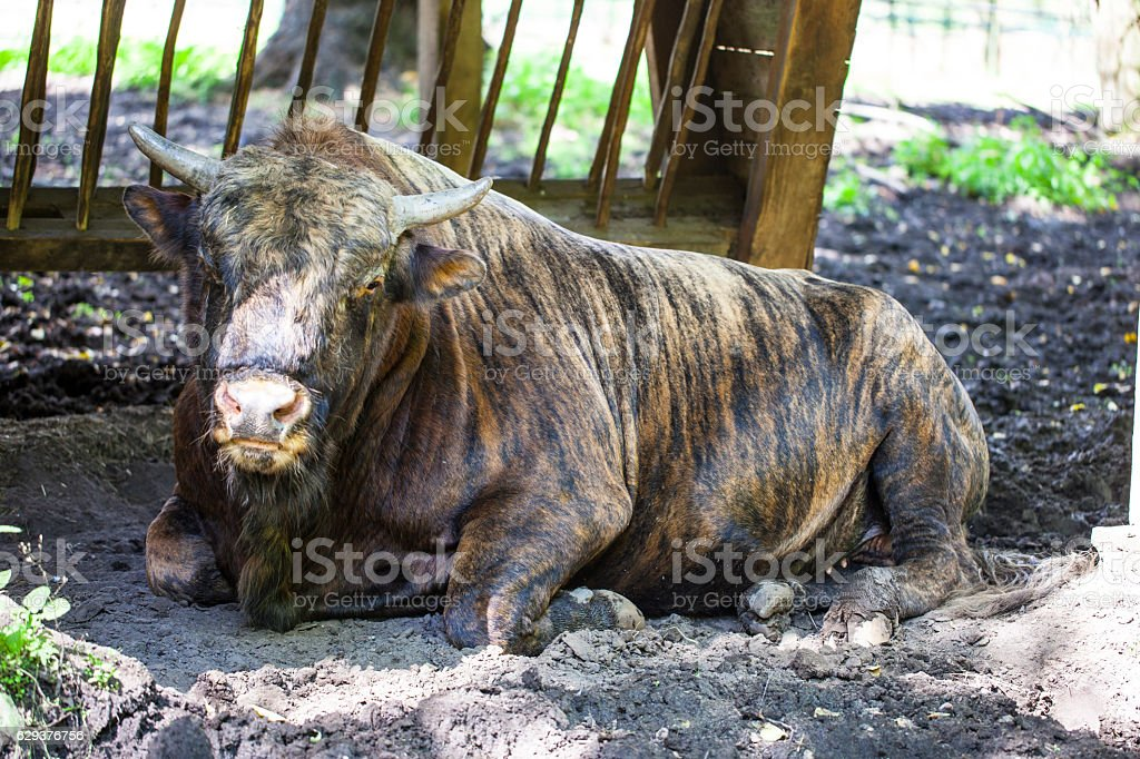 Zubron - hybrid of domestic cattle and european bison stock photo