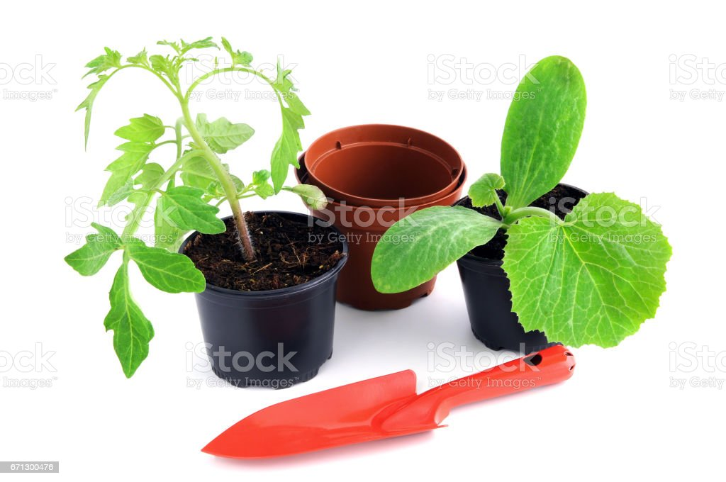 zucchini and tomato plant seedlings on white background with garden stock photo
