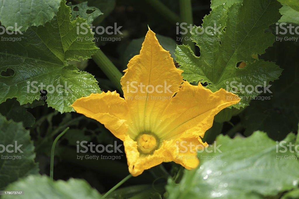 Zucchini Flower, Blossom, Cucurbita Pepo in an organic garden. royalty-free stock photo
