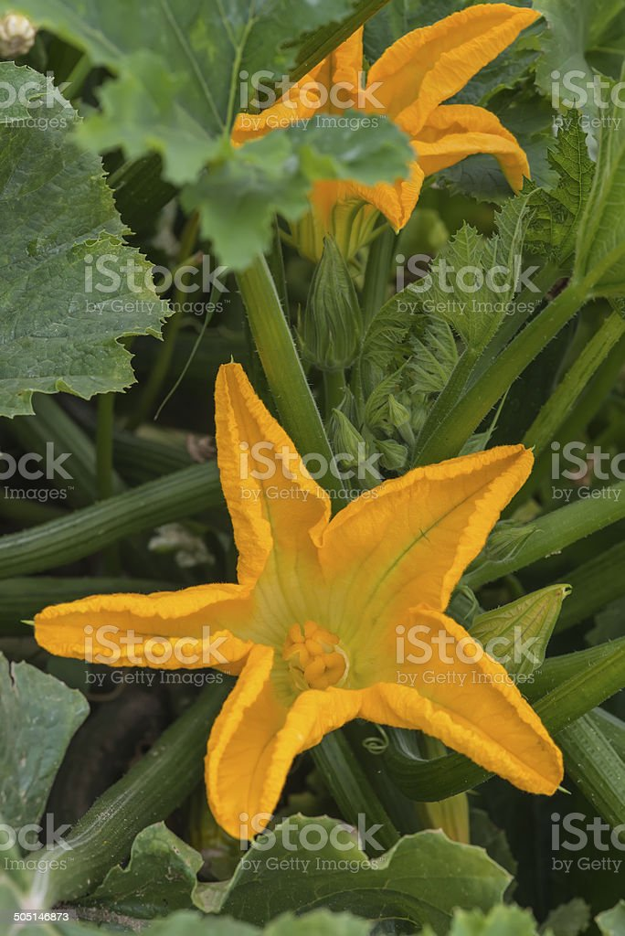 Zucchini plant with flowers royalty-free stock photo