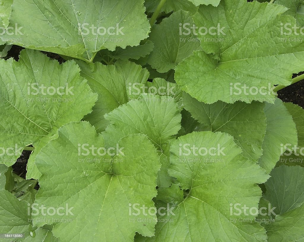 Zuchini Leaves royalty-free stock photo