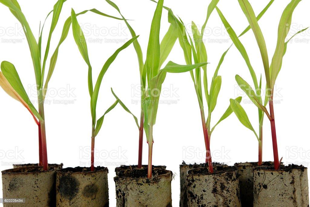 Zuckermaisanzucht stock photo
