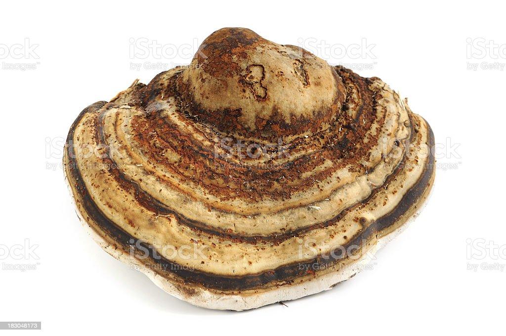Zunderschwamm (Fomes fomentarius) - Tinder Fungus stock photo