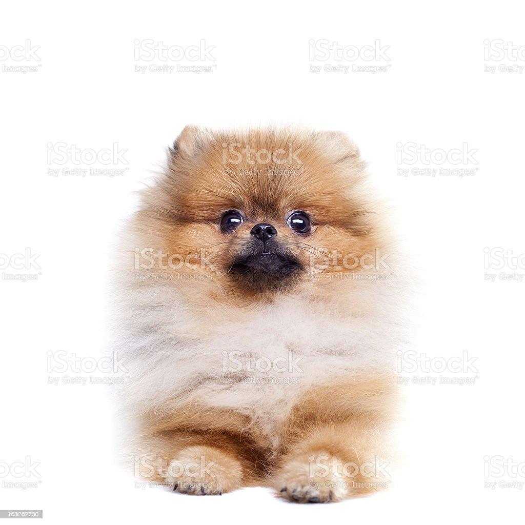 Zverg Spitz, Pomeranian royalty-free stock photo