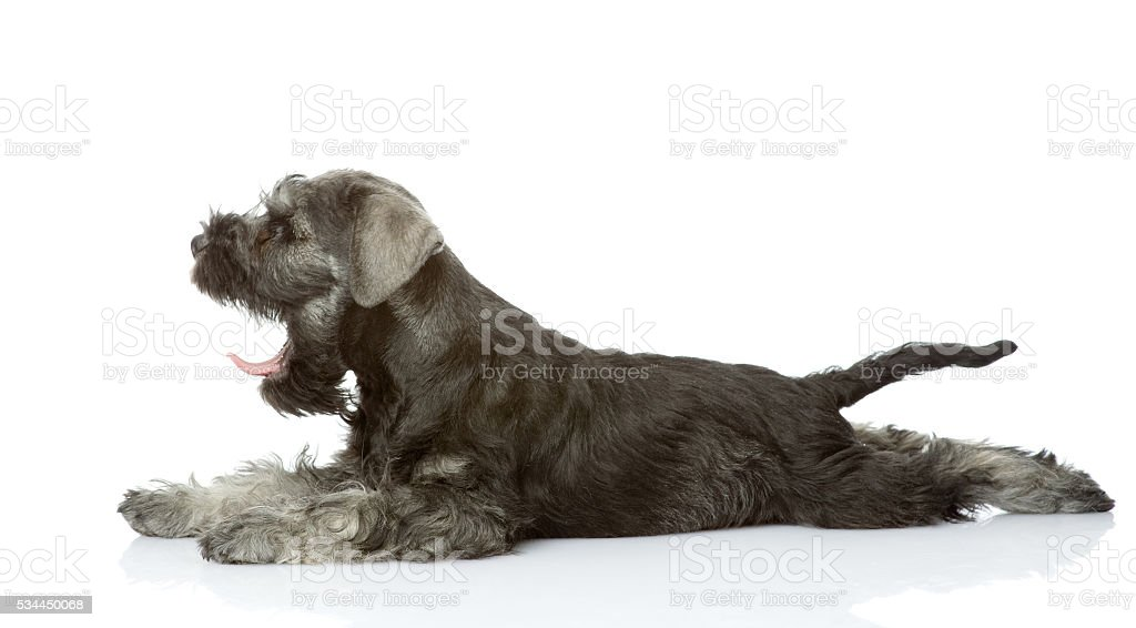 zwergschnauzer puppy lying in profile. isolated on white background stock photo