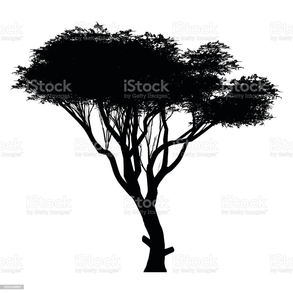 acacia vector art illustration
