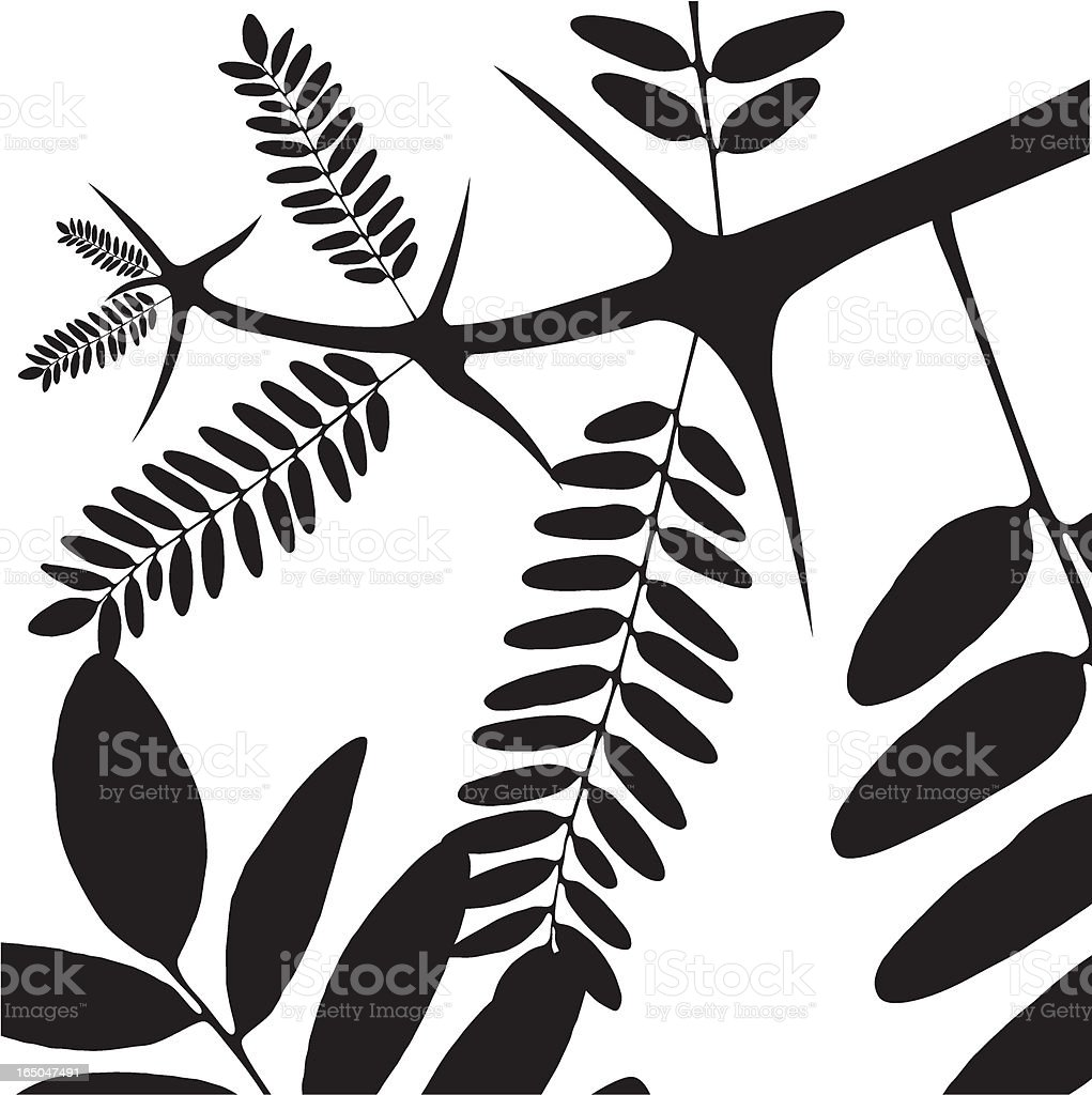 acacia - vector vector art illustration