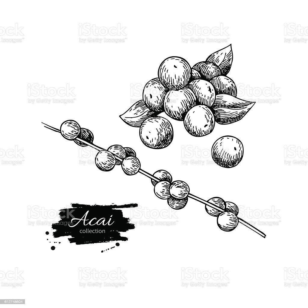 Acai berry vector superfood drawing set. Isolated hand drawn vector art illustration