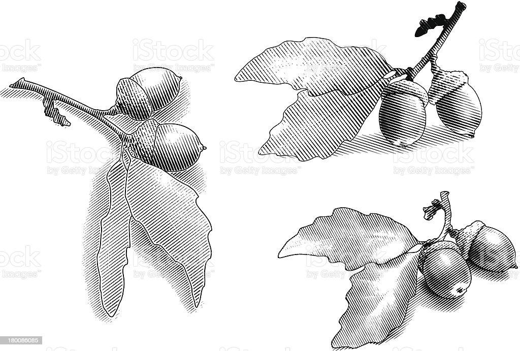 Acorns and Oak Leaves vector art illustration