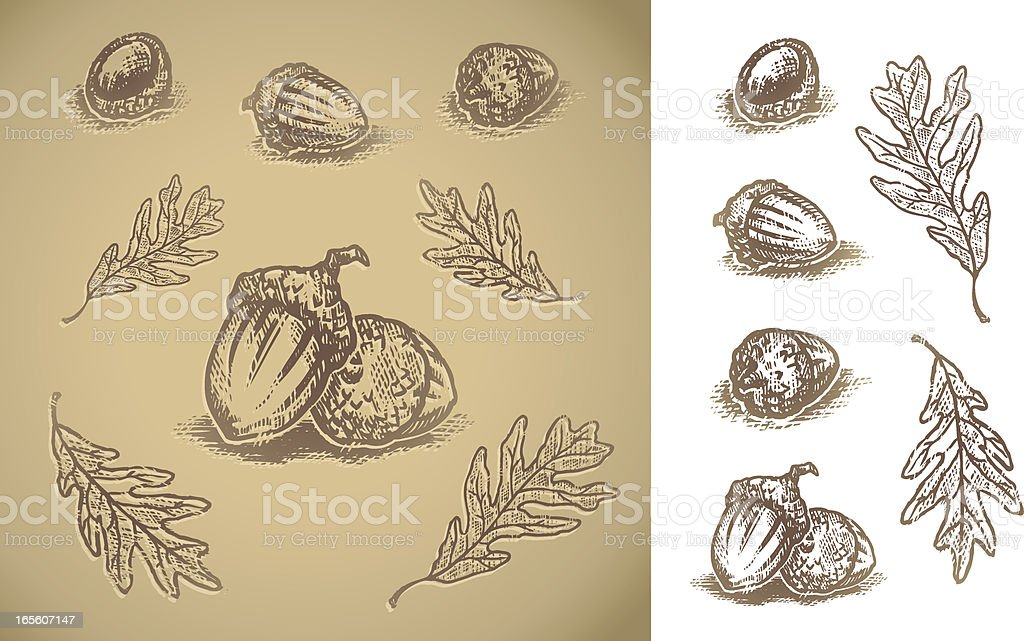 Acorns vector art illustration