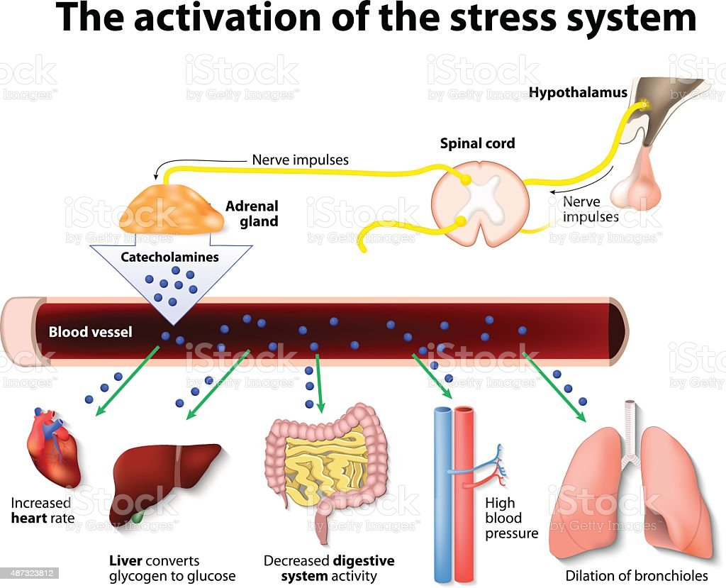 Activation of the stress system vector art illustration