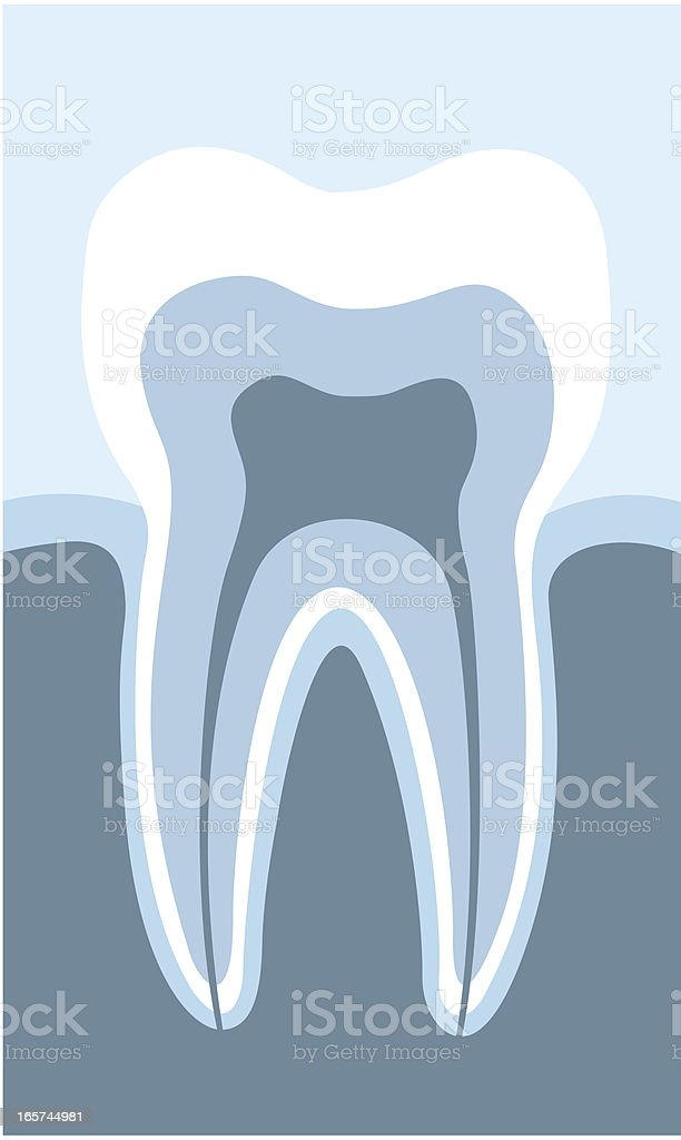 acurately tooth cross section vector art illustration