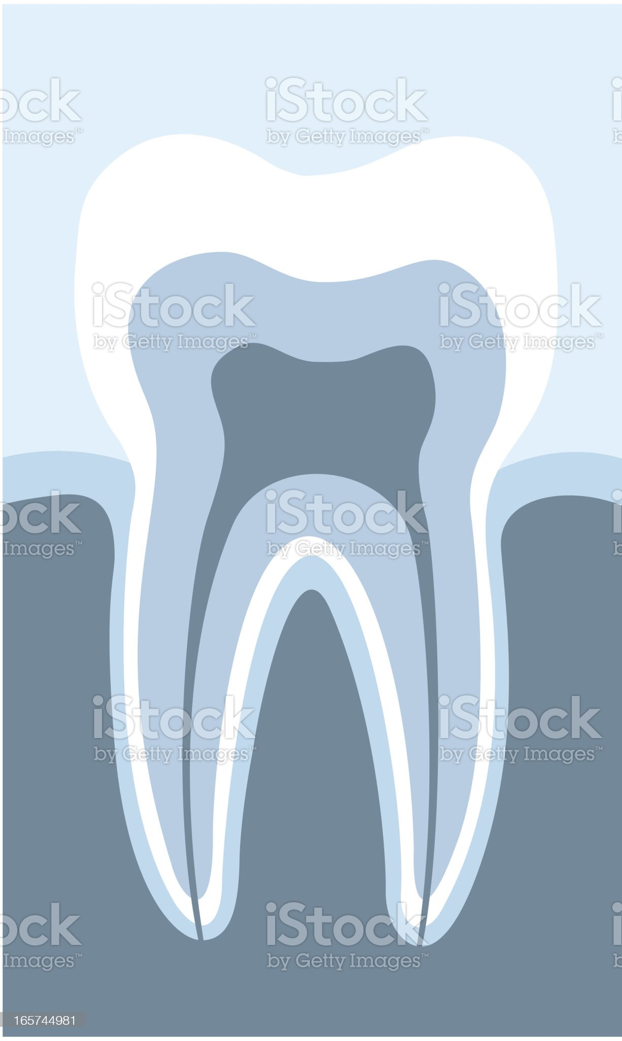 acurately tooth cross section royalty-free stock vector art