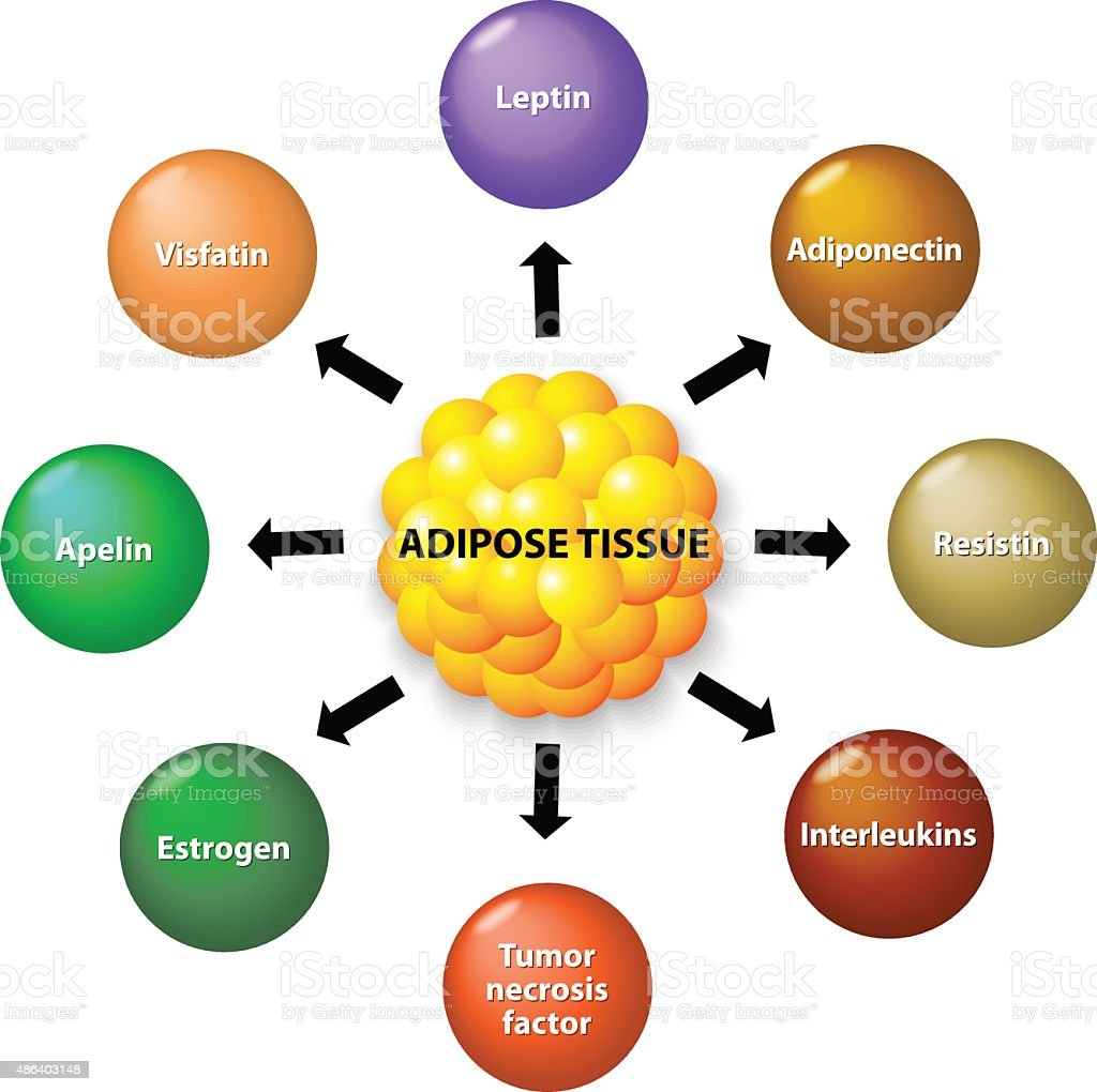 Adipose tissue and hormones vector art illustration