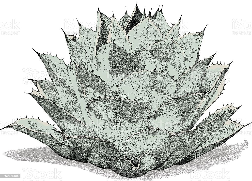 Agave vector art illustration