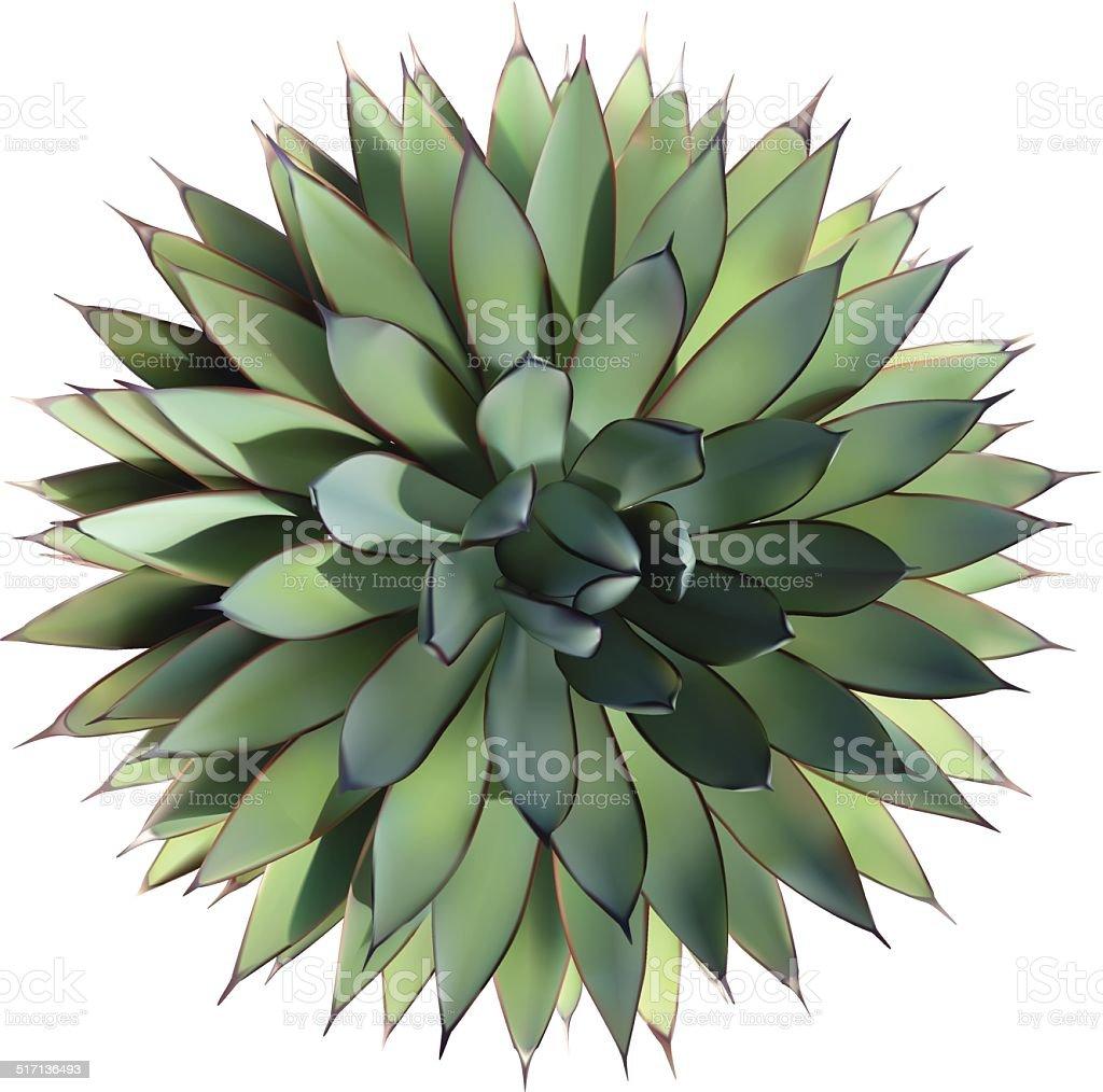 Agave - Vector vector art illustration