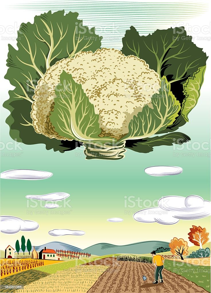 agricultural landscape with cauliflower royalty-free stock vector art
