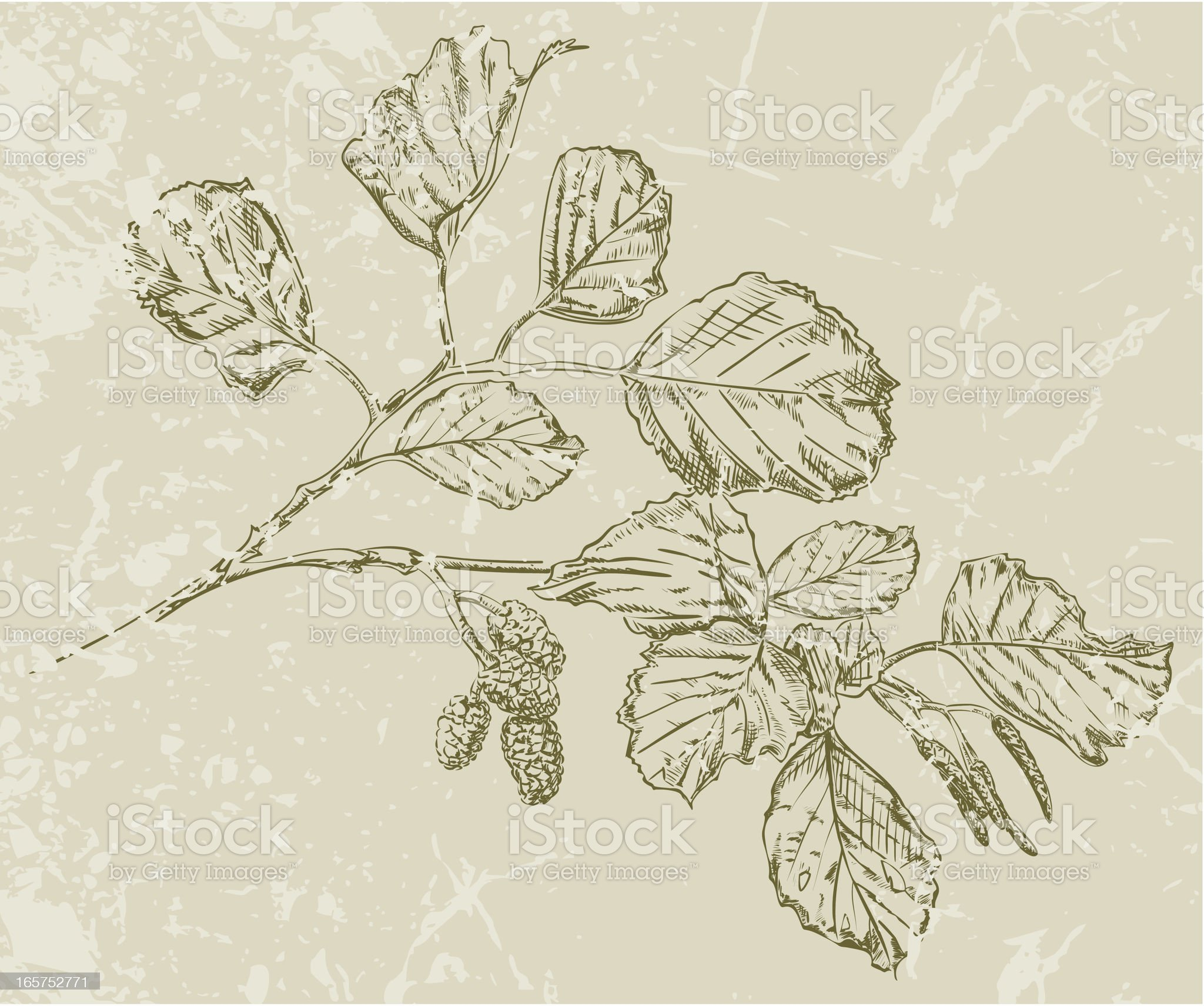 Alder Branch Drawing royalty-free stock vector art