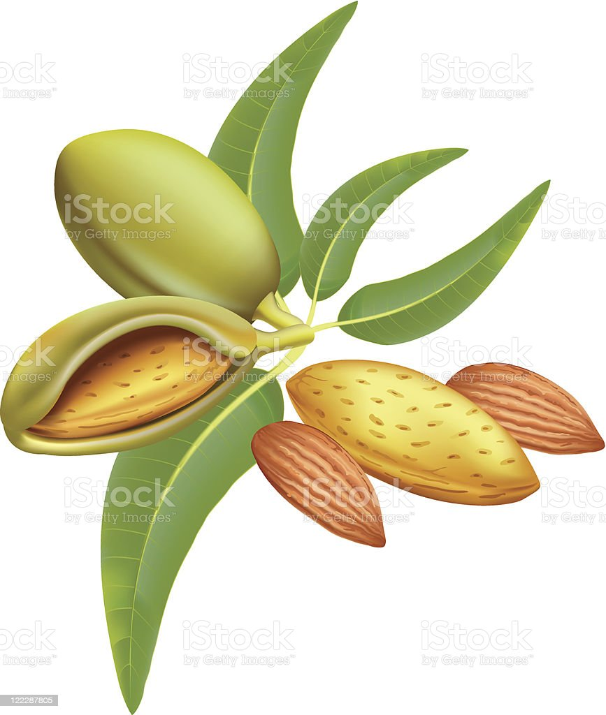 Almonds. royalty-free stock vector art