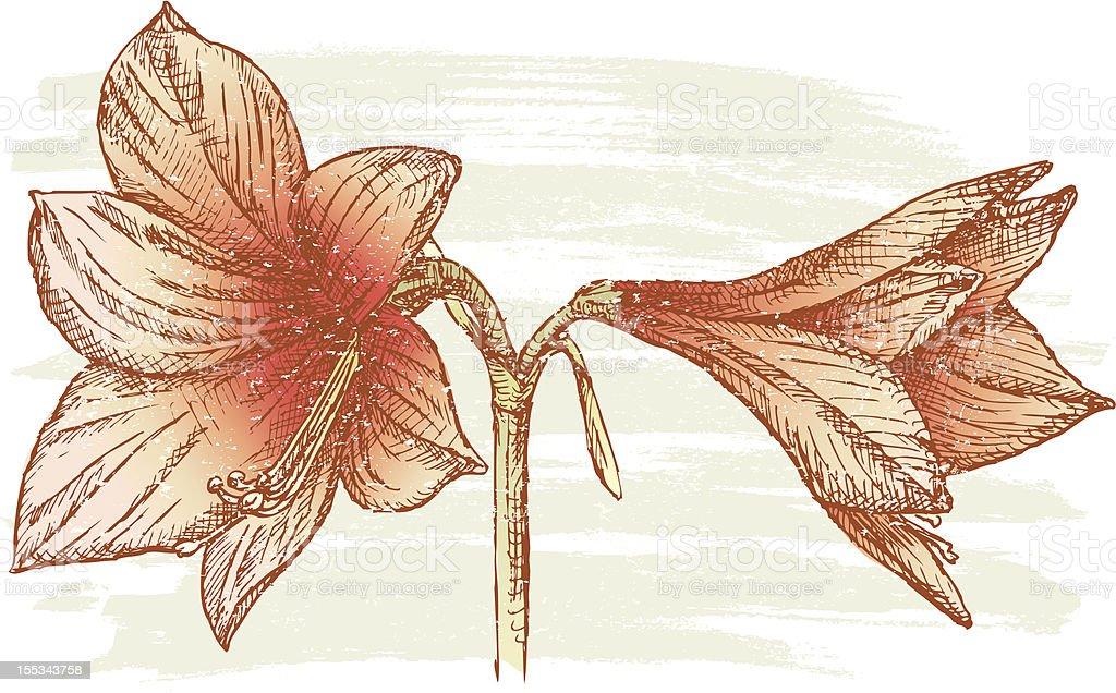 Amaryllis royalty-free stock vector art