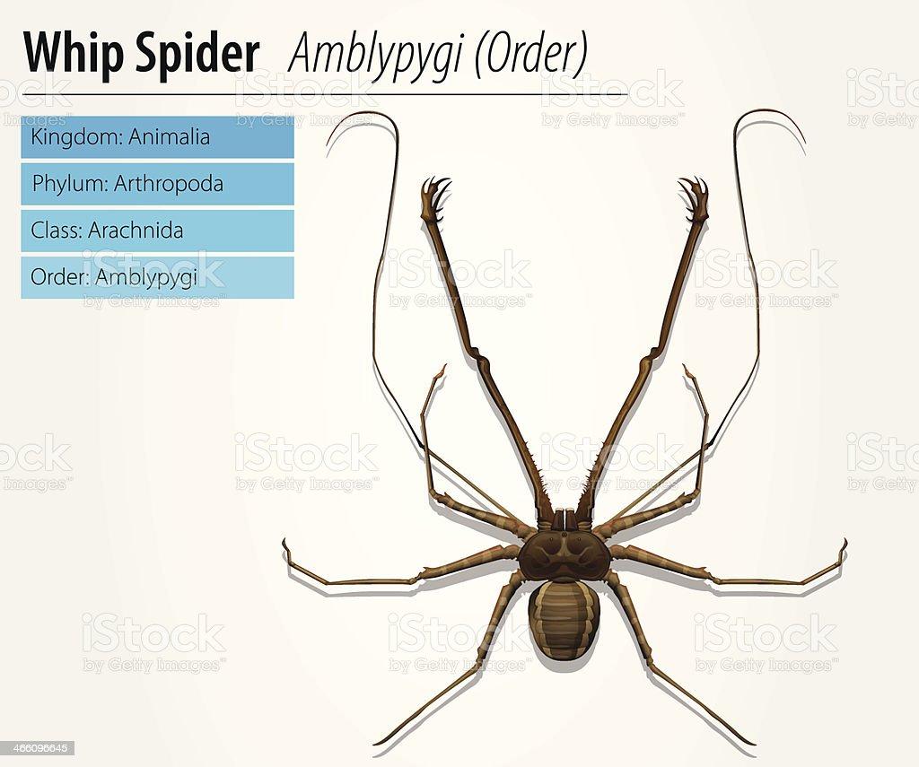 Amblypygi - genus vector art illustration