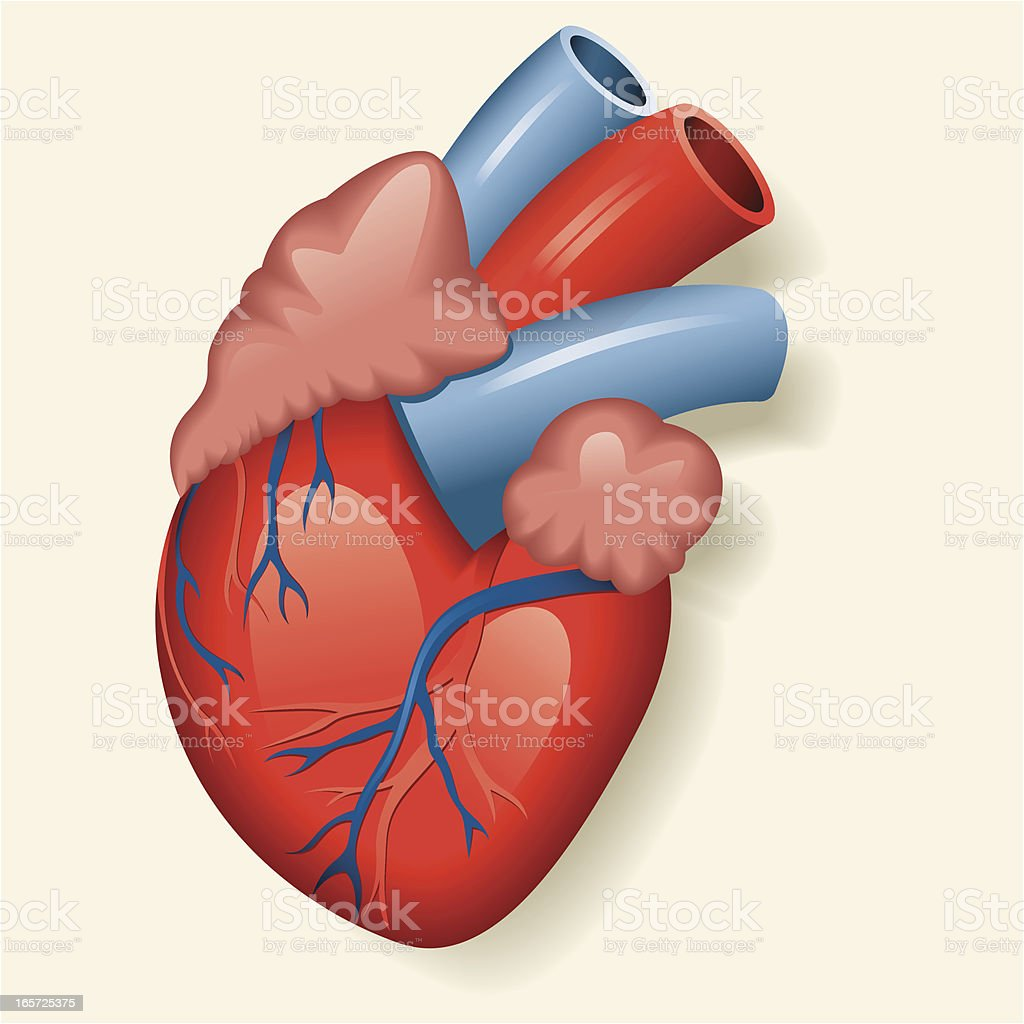 An illustration of a human heart vector art illustration