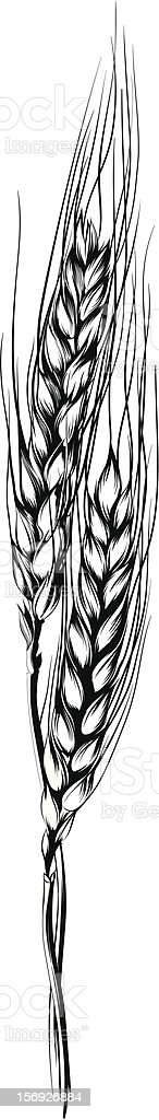 An ink drawing of a wheat branch royalty-free stock vector art