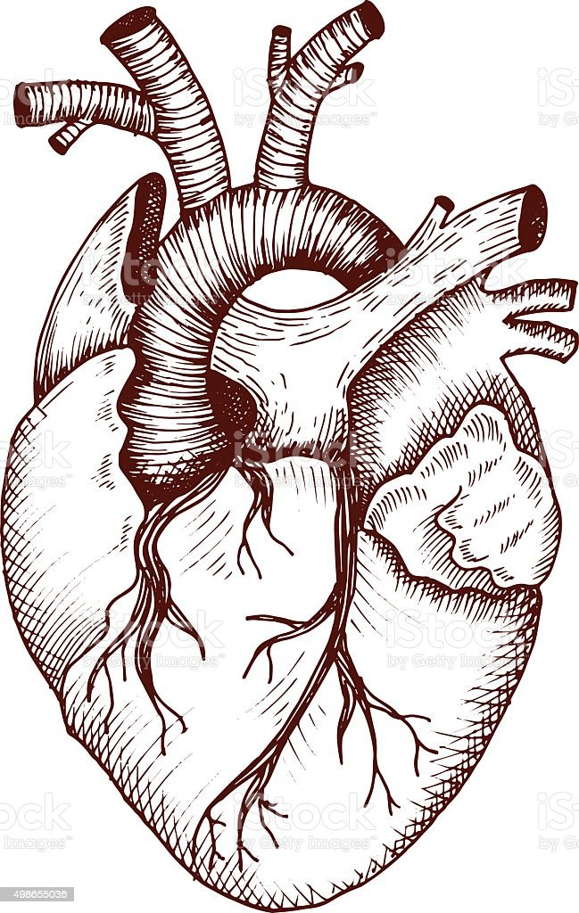 Anatomical heart - vector vintage style detailed illustration vector art illustration