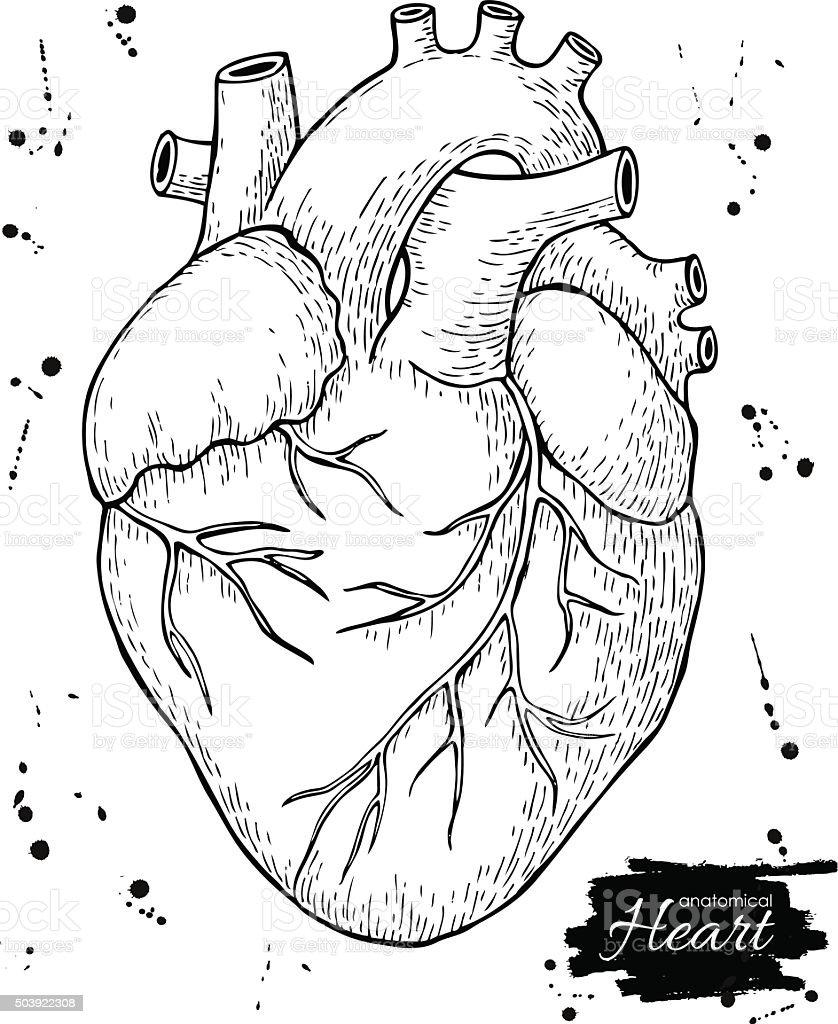 Anatomical human heart. Engraved detailed illustration. vector art illustration