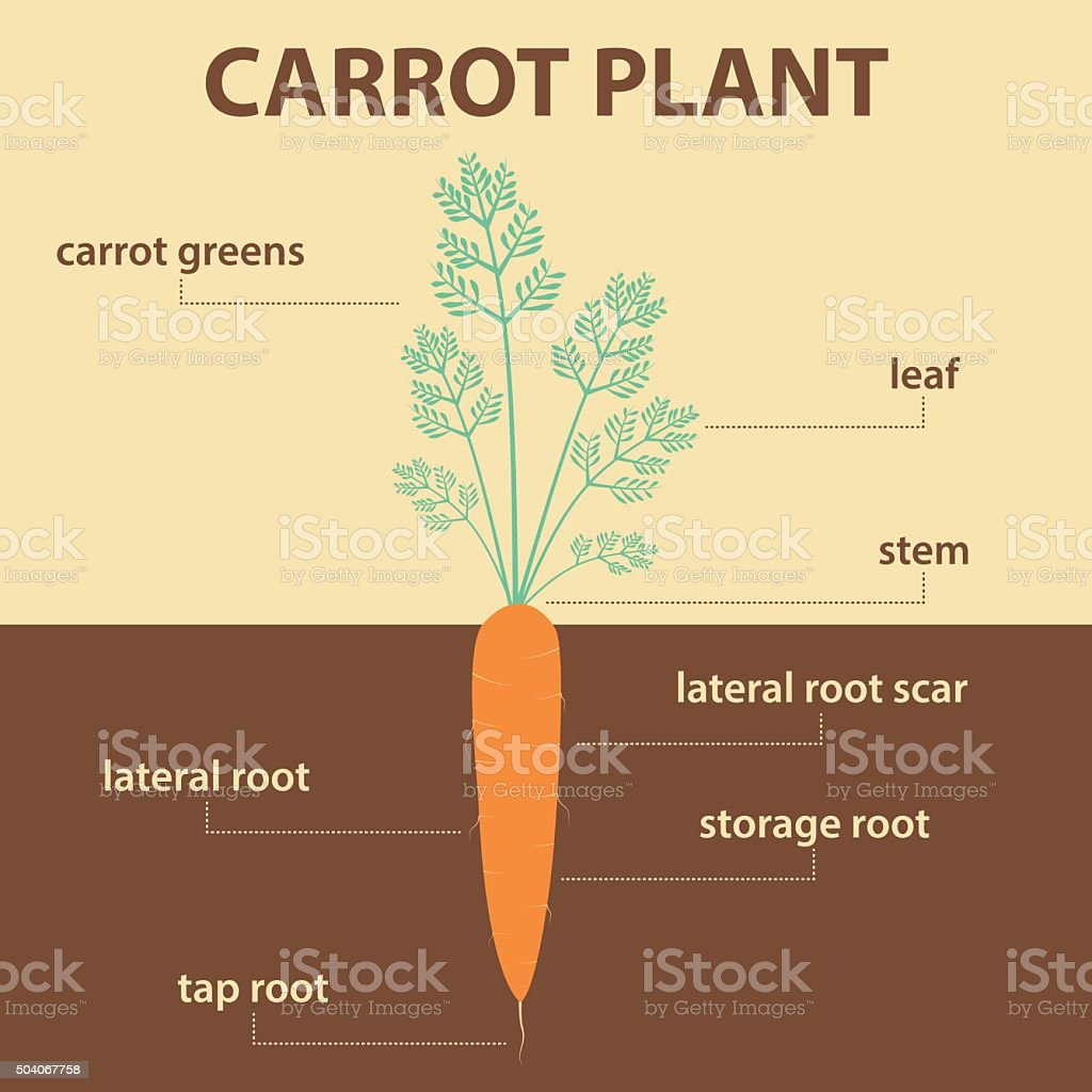 anatomy diagram parts carrot plant with root vector art illustration